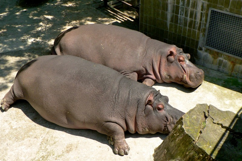 Бегемотики в зоопарке Барселоны