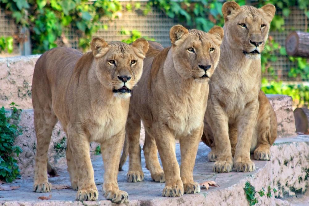 Львицы (фото: Mario Sánchez Prada)