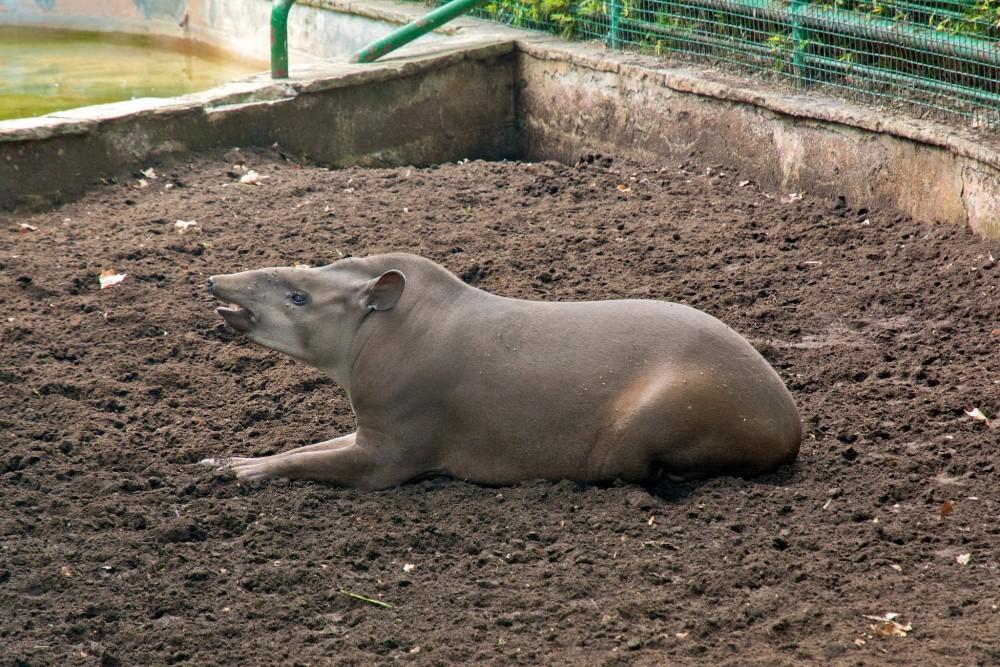 Тапир (фото: Bart de Grood)