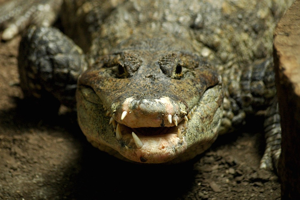 Старый крокодил (фото: Riccardo Cuppini)