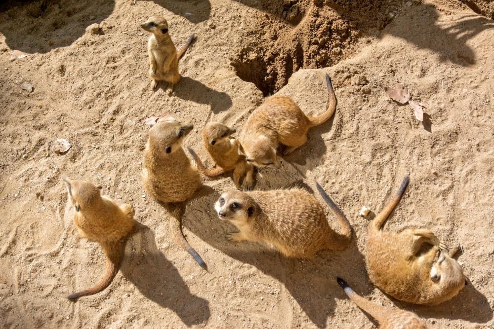 Сурикаты (фото: Bart de Grood)