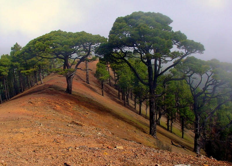 Сосны на острове Эль Иерро