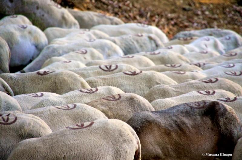 Все овцы помечены