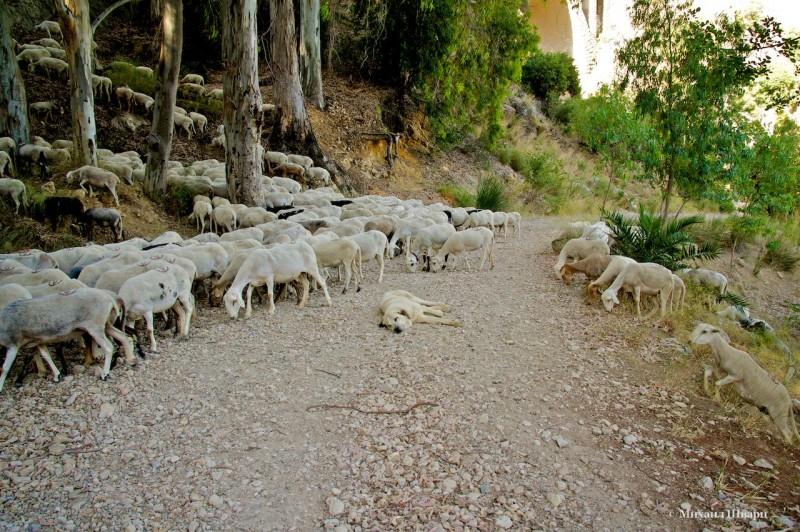 Главный помощник пастуха