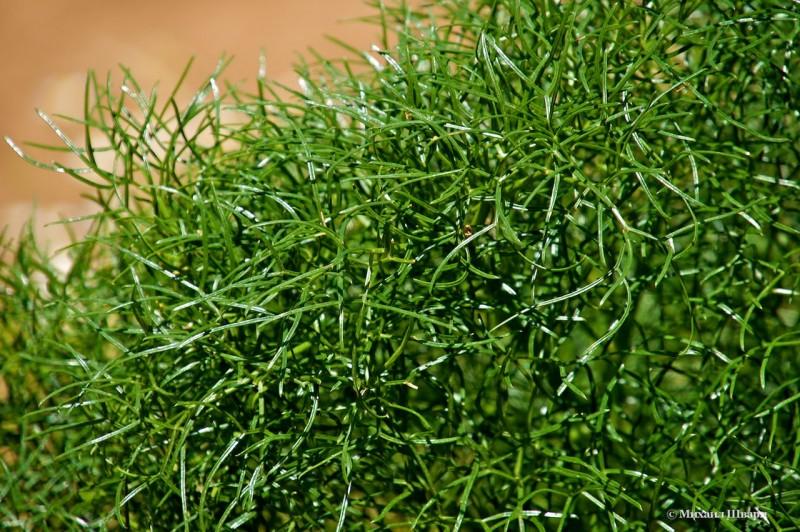 Это растение напоминает укроп