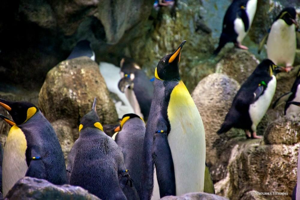 Потом королевские пингвины