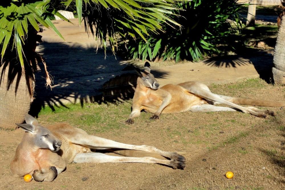 Ленивые кенгуру ( фото: Wolfgang Appel)