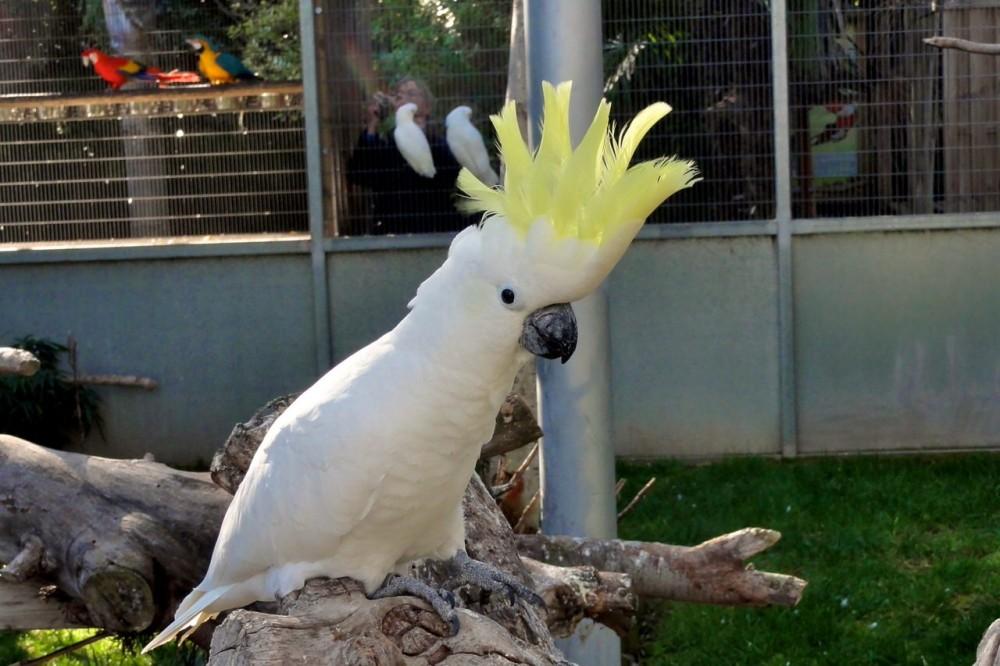 Белый какаду (фото: Wolfgang Appel)