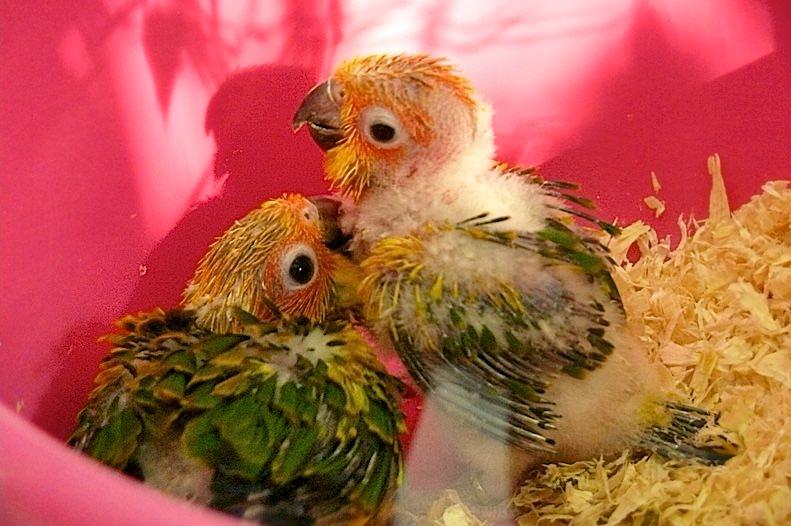 Маленькие попугайчики (фото: calafellvalo)