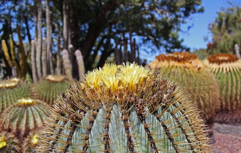 Кактусы в Jardín Botánico Canario Viera y Clavijo