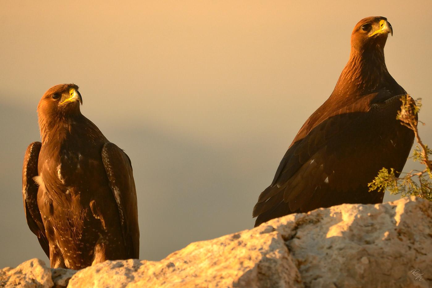 Беркут (Águila real) или Золотой орел (фото:Rafael Zacher)