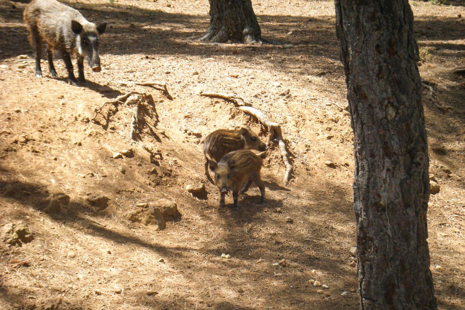 Кабанчики (фото: Simon Lashley)