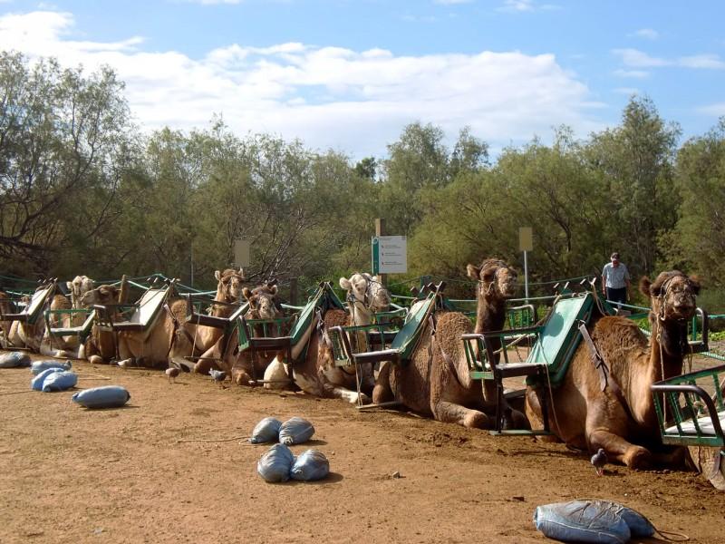 Верблюды в песчаном парке Dunas de Maspalomas