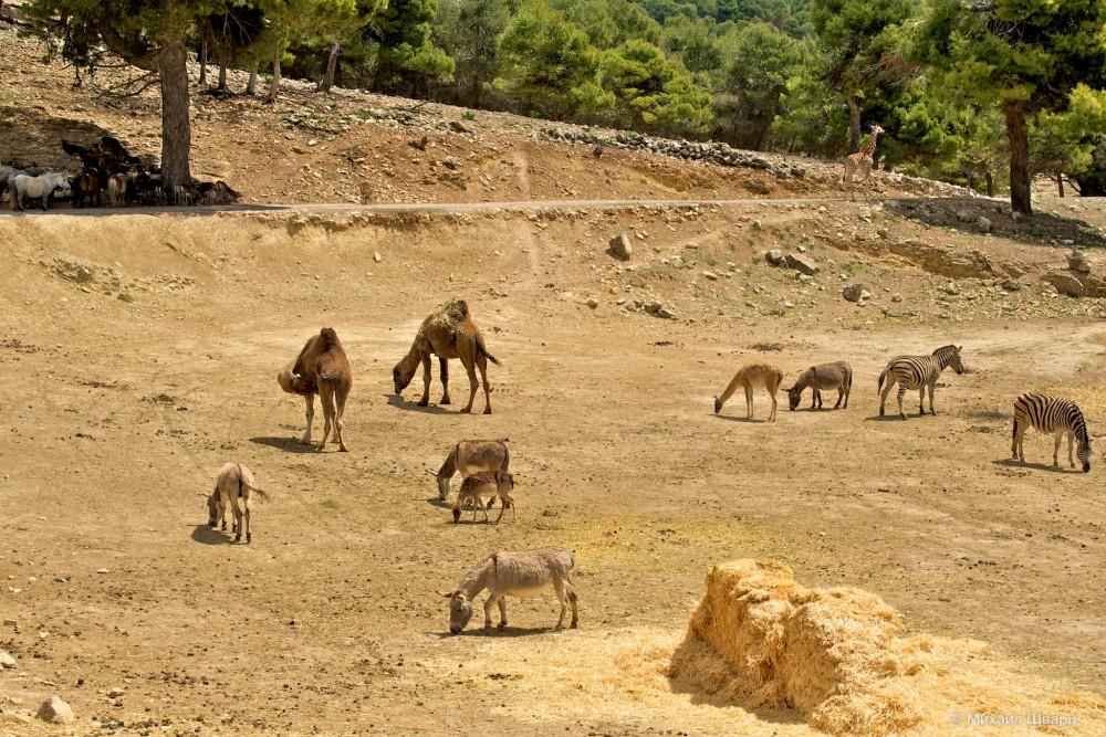 Жираф, гуанако, верблюды, зебры, пони, ослики