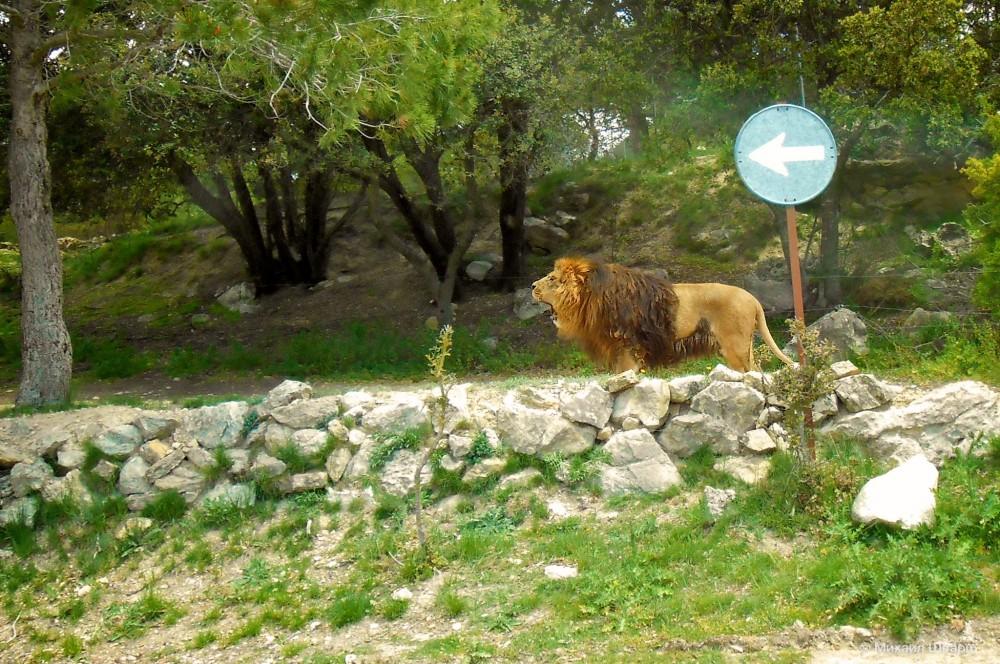 Ревущий лев... Страшно? На самом деле он просто зевал