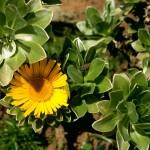 Канарская звезда (Asteriscus sericeus)