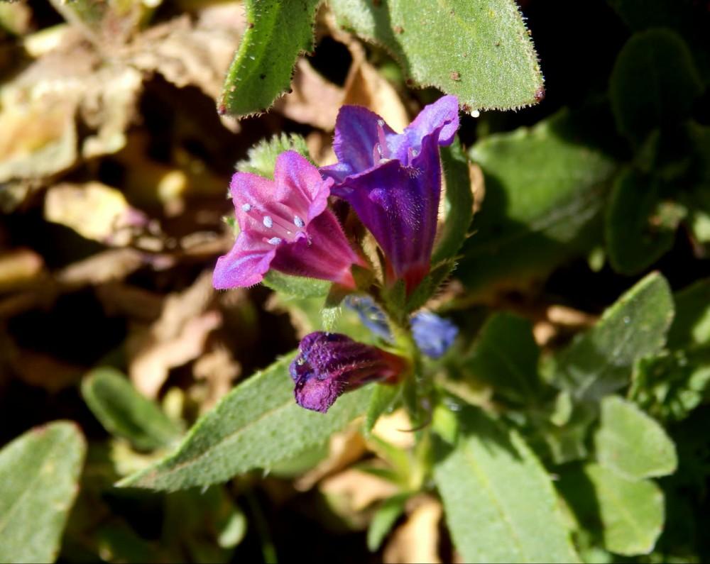 Синяк (Echium)