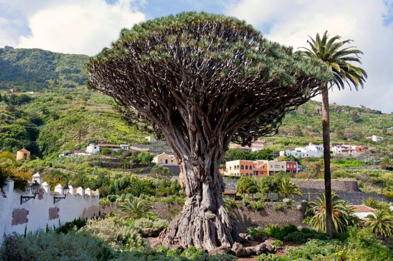 Драконово дерево в городе Икод де лос Винос