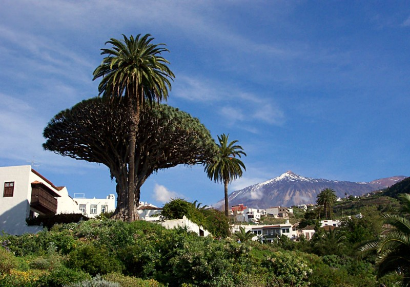 Древнее дерево на фоне вулкана Тейде