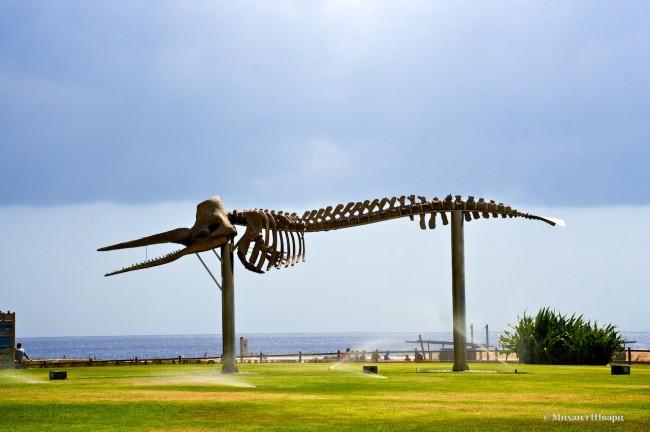 Скелет кашалота