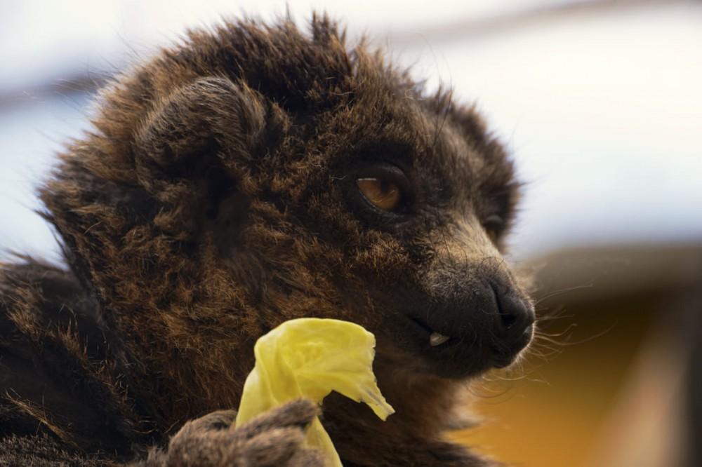 Мангустовый лемур (фото: Harplessmonkey)
