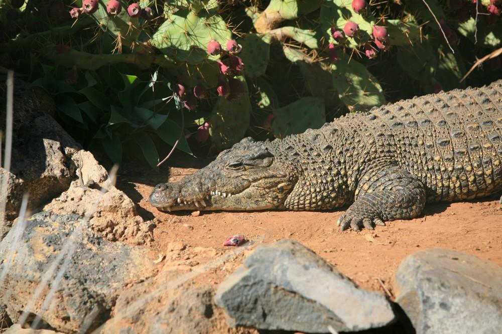 Крокодил в кактусах (фото: Chris Morgan)