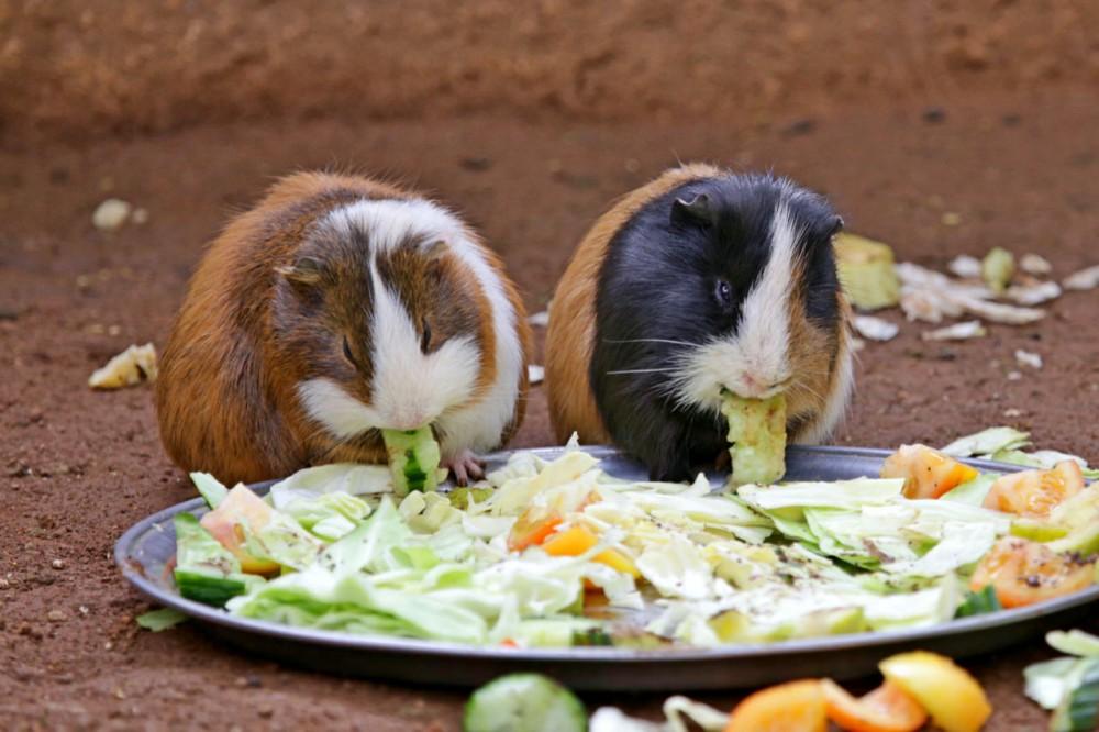 Морские свинки едят угощения (фото: Margo, just Margo ...)