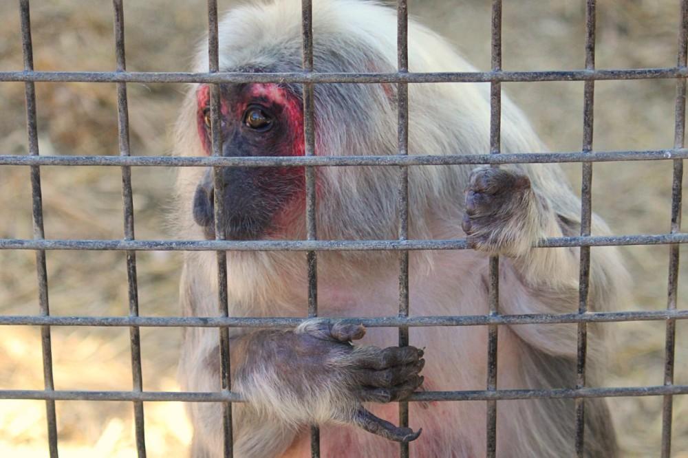 Опасная обезьянка (фото: BumpCap)