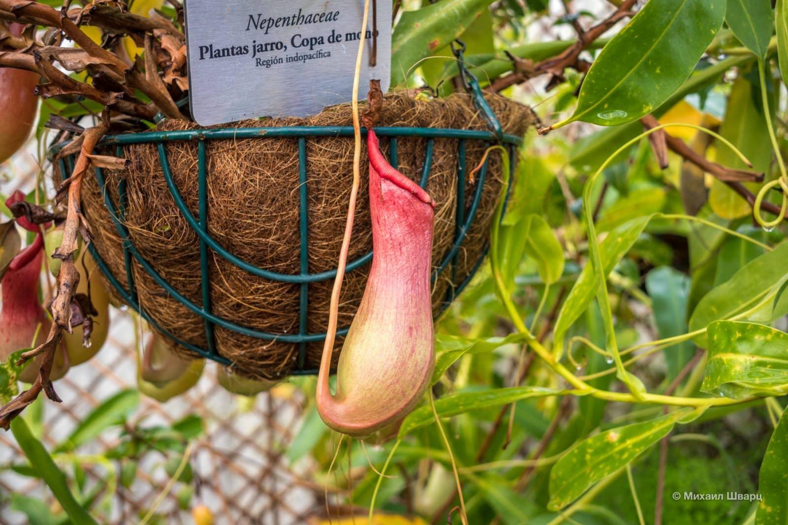 Хищное растение Непентес