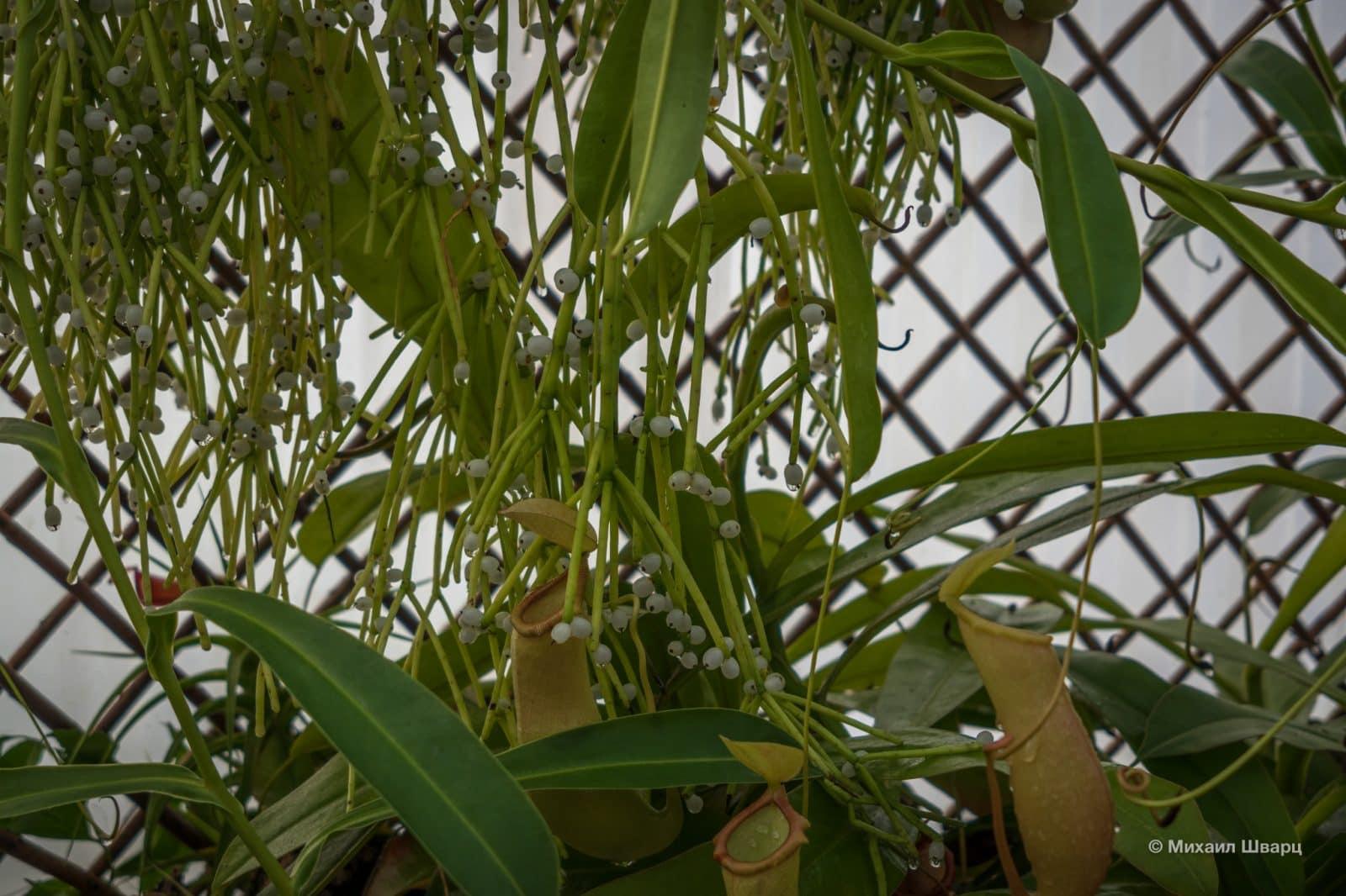 Ещё растение из павильона Tropicarium