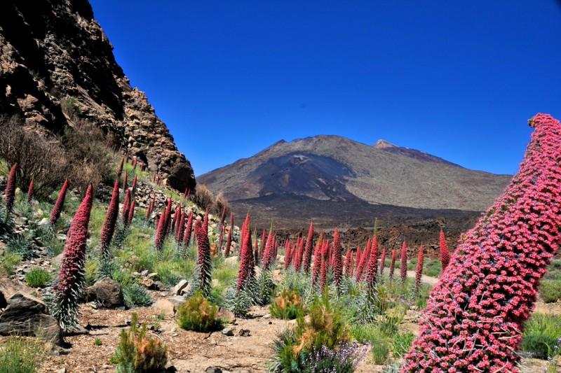 Эндемик острова Тенерифе – Синяк Вильдпрета