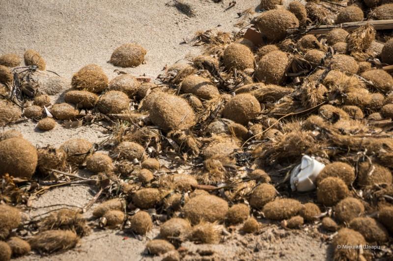 Какие-то морские волосатые яйца
