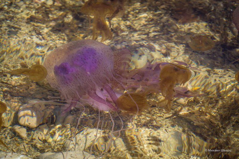 Очень много медуз в бухтах