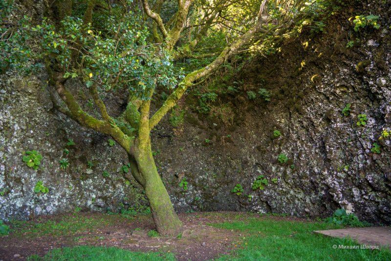 Святое дерево Garoé