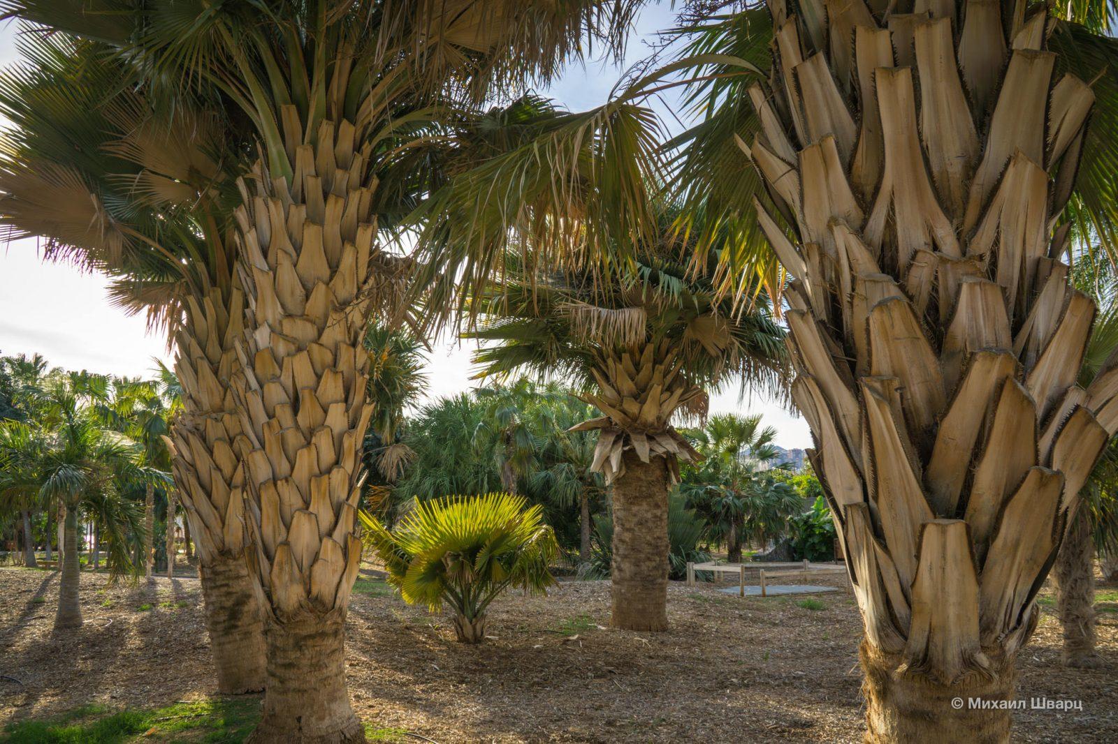 Copernicia baileyana – кубинские виды пальм