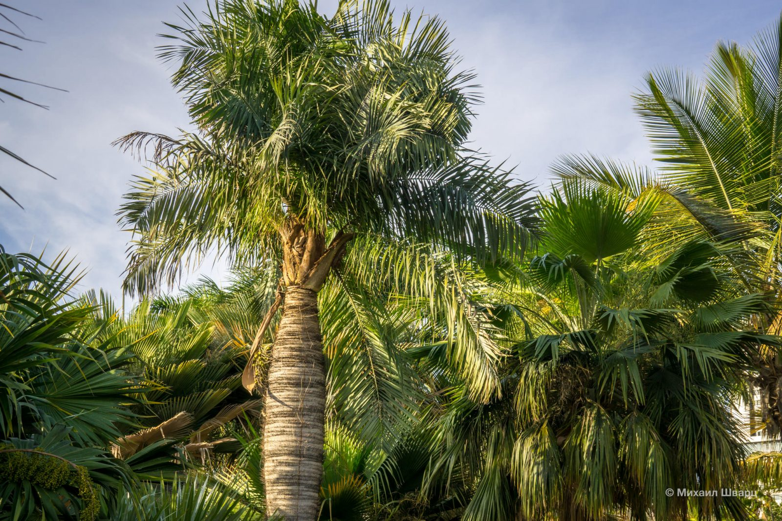 Пузатая пальма Barrigona