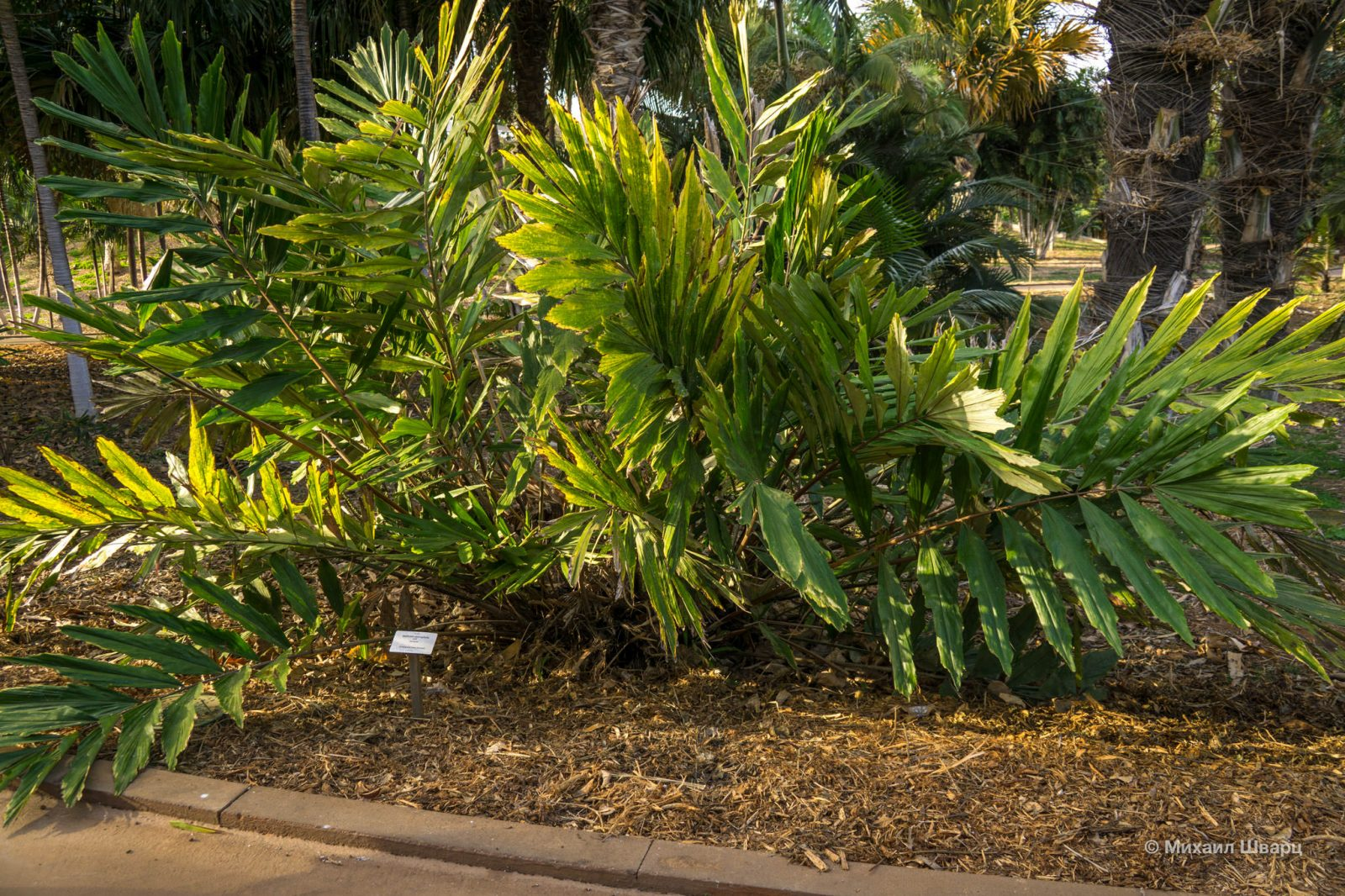 Wallichia oblongifolia
