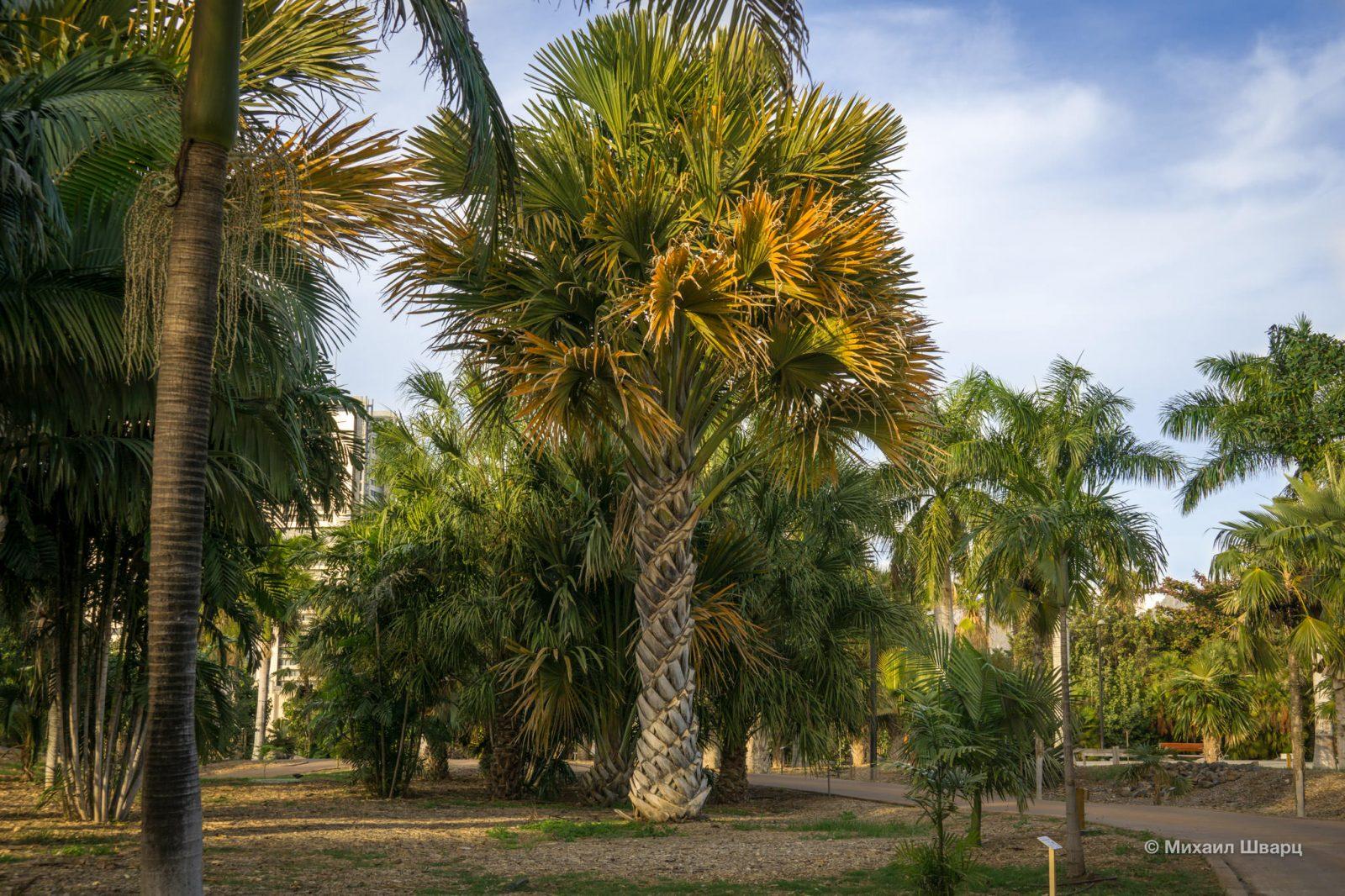 Музей пальм (Palmetum)