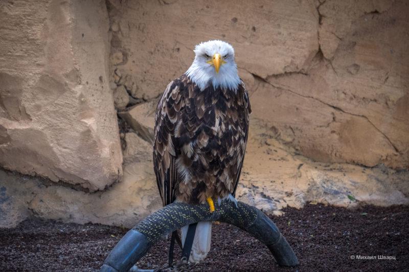 Белоголовый орлан с герба США