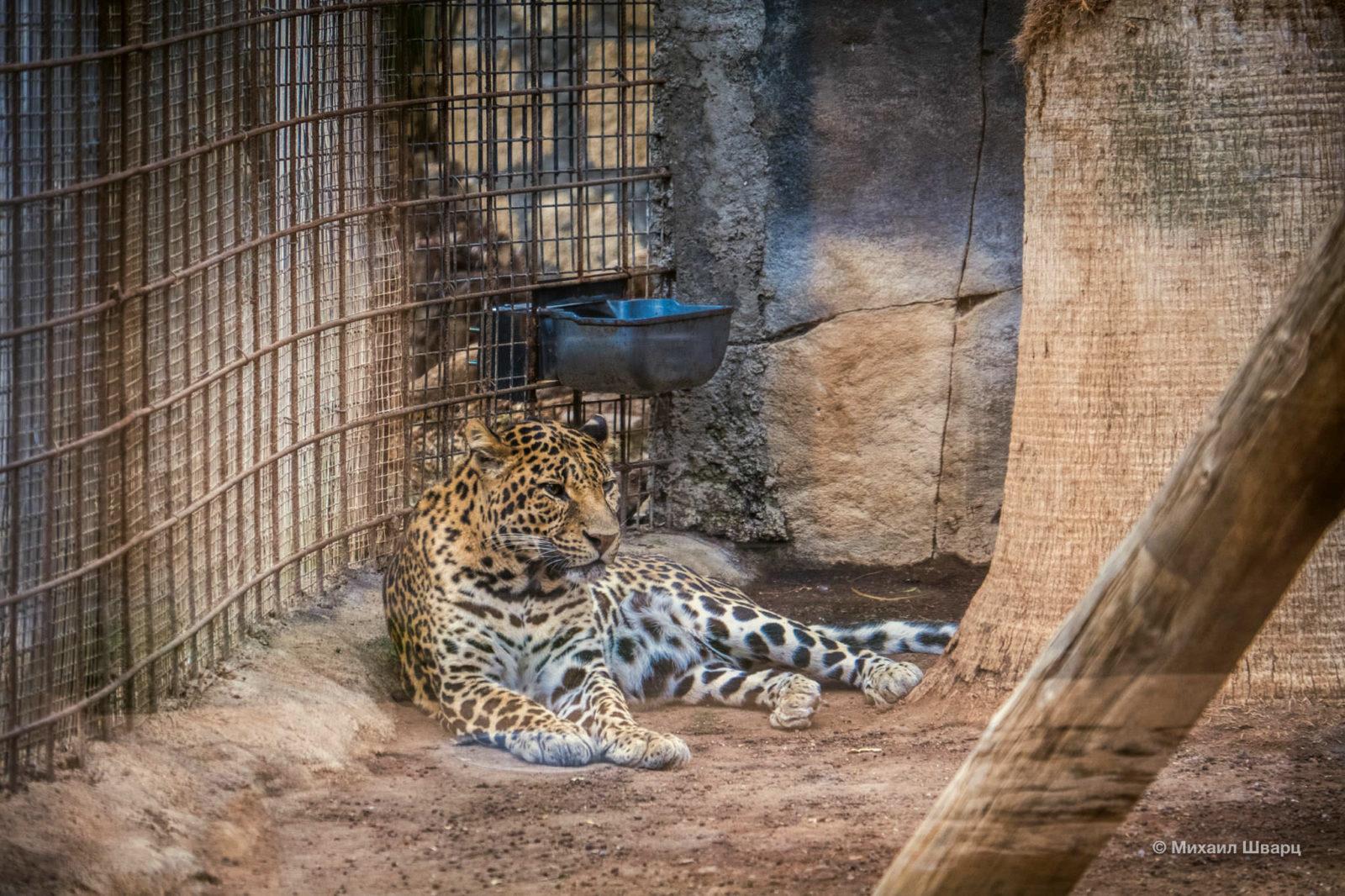 Грациозный леопард