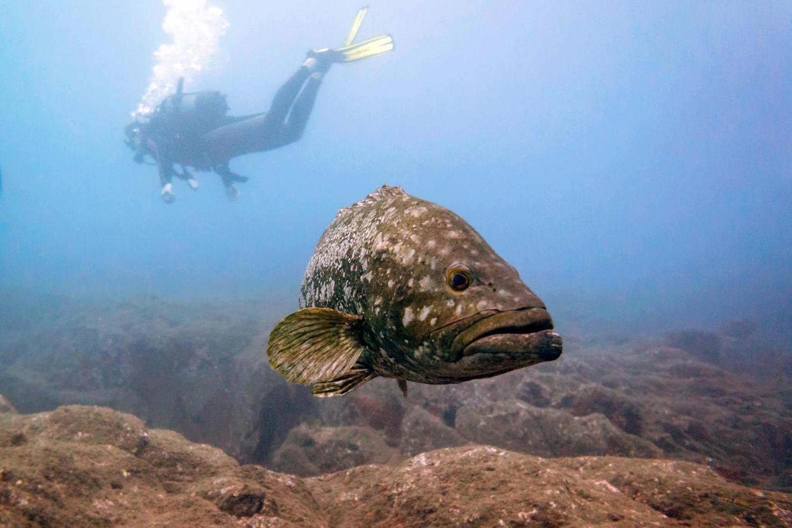 Групер (лат. Epinephelus) – род рыб из семейства каменных окуней (фото: Malcolm Browne)