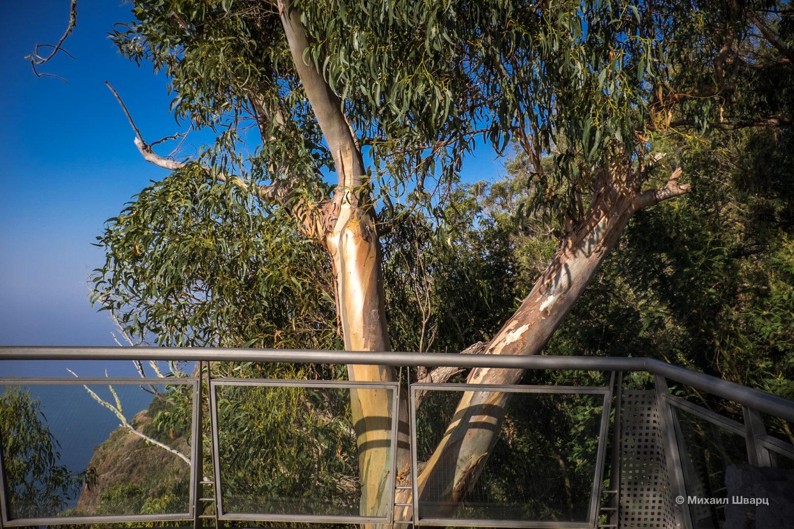 Вокруг растут эвкалиптовые деревья