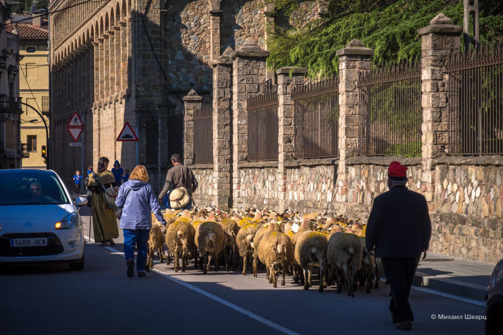 Ведут овец на фестиваль