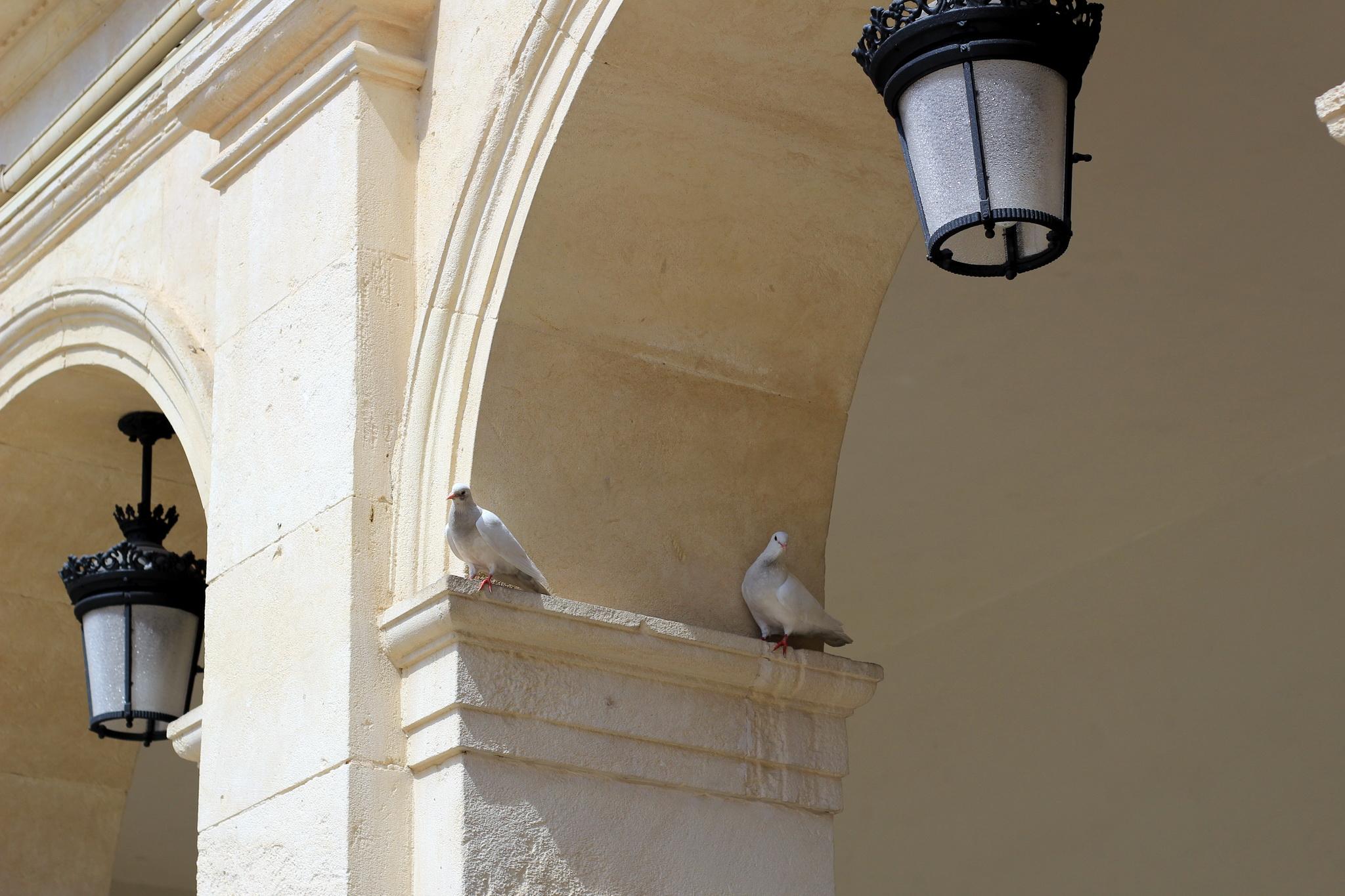 голуби занявшие первые места