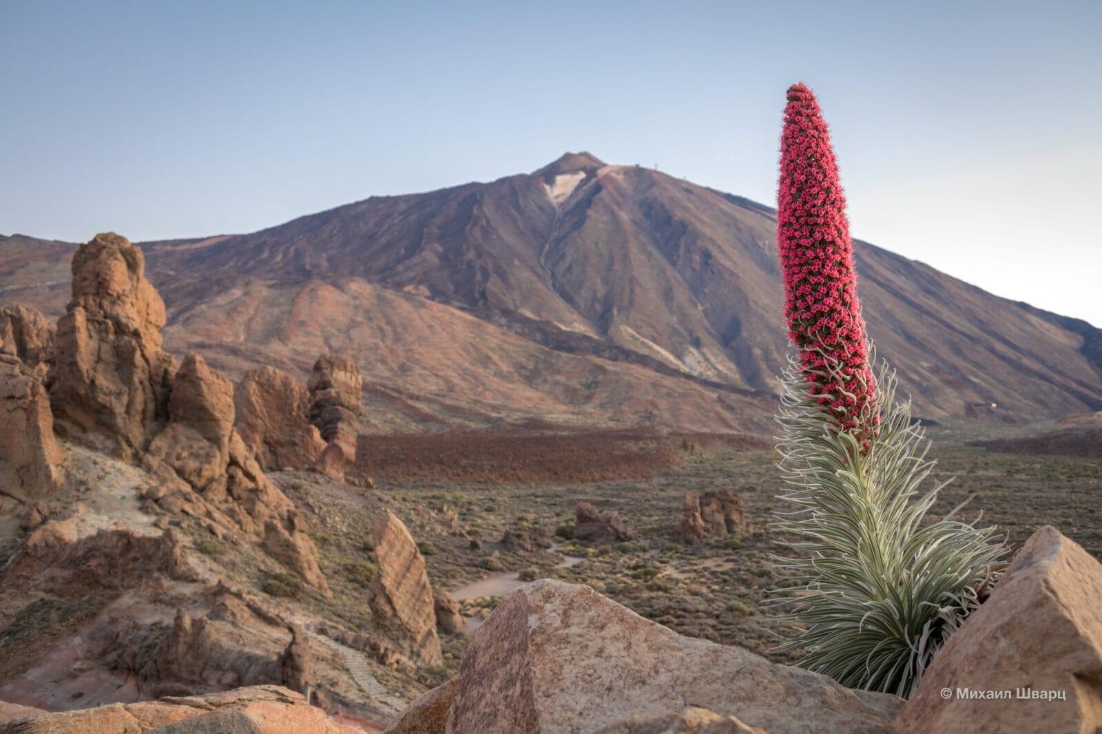 Цветок тахинасте с видом на вулкан Тейде