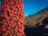 Ищем цветы Тахинасте у Тейде 5
